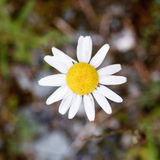 Daisy. A daisy flower with the ground blurred royalty free stock images
