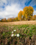 Daisy flower grow in harvested field autumn landscape Stock Photography