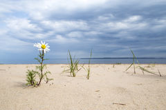 Daisy flower growing in the sand on the beach against the backdrop of storm clouds Royalty Free Stock Photography