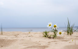 Daisy flower growing in the sand on the beach Stock Photo