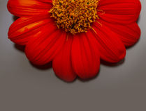 Daisy flower. Daisy half flower in the glass with reflection royalty free stock images