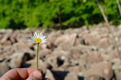 Man holding a small daisy outdoors Stock Photos