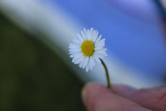 Daisy flower on hand. With blur background stock images