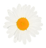 Daisy flower head isolated Royalty Free Stock Images