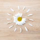Daisy flower head with petals. Daisy flower head with some petals torn off on wooden background. Nature, fertilization and medicine concept Royalty Free Stock Image