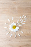 Daisy flower head with petals. Daisy flower head with some petals torn off on wooden background. Nature, fertilization and medicine concept Royalty Free Stock Photo