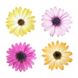 Daisy flower heads. Design elements - set of four daisy flowers of different colors, isolated on white Stock Photography