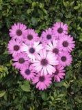 Daisy Flower Heart Immagini Stock Libere da Diritti