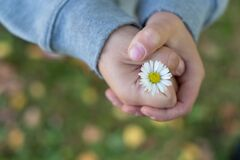 Daisy Flower In Child`s Hand Stock Photos