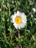 daisy flower royalty free stock images