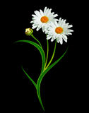 Daisy flower isolated on black background Royalty Free Stock Photography