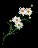 Daisy flower isolated on black background Royalty Free Stock Images