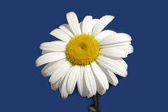 Daisy flower isolated on blue Royalty Free Stock Photo