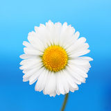 Daisy flower. Daisy flower isolated on blue background Stock Photography