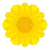Daisy Flower Isolated concêntrica amarela no branco. Mandala Design fotografia de stock royalty free