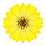 Daisy Flower Isolated concêntrica amarela no branco. Mandala Design fotos de stock