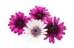Daisy flower isolated Stock Photos