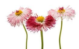 Daisy flower isolated Stock Photo