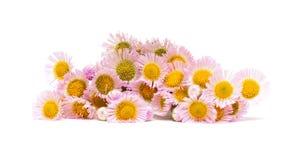 Daisy flower isolated on white Stock Image