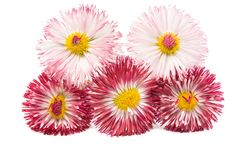 Daisy flower isolated Royalty Free Stock Images