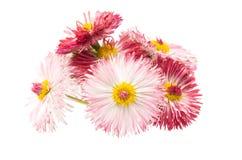 Daisy flower isolated Royalty Free Stock Photos
