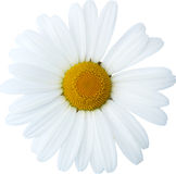 Daisy flower large head, natural - hand drawn clipping path Royalty Free Stock Photo