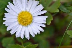 Daisy Flower Macro Royaltyfri Foto