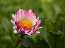 Daisy, Flower, Macro, Flowers, Lawn Royalty Free Stock Photo