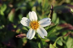 Daisy flower macro photograpy royalty free stock photography