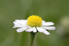 Daisy flower. A daisy flower macro picture on a green back Royalty Free Stock Images