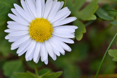 Daisy flower macro. White daisy flower on green background - macro Royalty Free Stock Photo