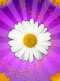 Daisy Flower on Magical Purple Background. A white daisy on beautiful purple background royalty free stock images
