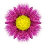 Daisy Flower Mandala Isolated kaléïdoscopique pourpre sur le blanc Photos libres de droits