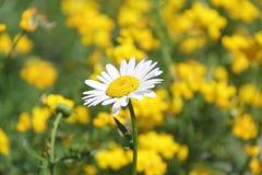Daisy flower Stock Images