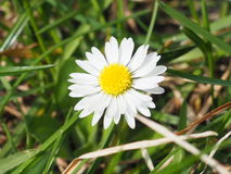 Daisy. Flower in the meadow Royalty Free Stock Image