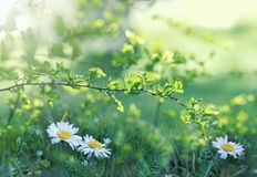 Daisy flower in meadow - beautiful flowering in spring. Awakening nature Stock Photo