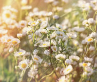 Daisy flower in meadow - beautiful meadow in spring lit by sunlight Stock Photography
