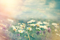 Daisy flower in meadow Stock Photos