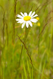 Daisy flower in the meadow Royalty Free Stock Photography