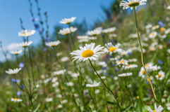 Daisy flower meadow Royalty Free Stock Photos