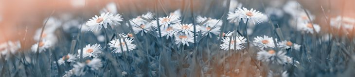 Daisy flower in meadow, daisy flower made with color filters. Beautiful nature in spring stock images