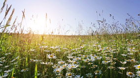 Daisy flower meadow field against blue sky stock video footage
