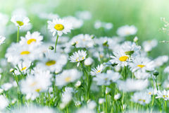 Daisy flower in meadow, flowers bathing in sunlight Royalty Free Stock Photo