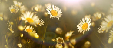 Daisy flower in meadow lit by sunlight Royalty Free Stock Image