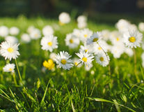 Daisy flower meadow in spring. Closeup of beautiful white daisy flowers in a park meadow with a creamy bokeh in spring or early summer stock image