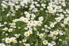 Daisy flower meadow Stock Photography