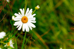 Daisy. A daisy flower in a natural setting stock image