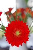 Daisy flower. One red daisy flower with a bucket on the background royalty free stock photo