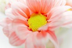 Daisy Flower Orange Photo libre de droits