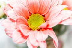 Daisy Flower Orange Images libres de droits
